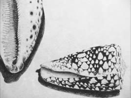 Kim MacKeown graphite drawing of seashells
